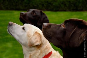 Three Labs by snak