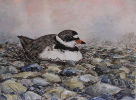 plover on nest by acrylicwildlife