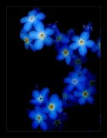 Forget Me Not by Forestina-Fotos