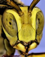 Yellow Jacket by Gooiool
