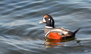 Harlequin Duck by AzureWindProductions