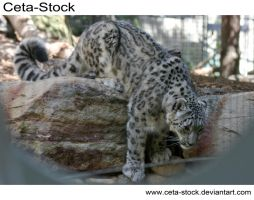 Snow Leopard 4 by Ceta-Stock