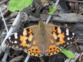 Painted Lady butterfly by DanBoldy