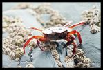 Crab by skeletowl