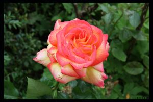 Another Rose by Brigitte-Fredensborg