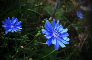 Blue Flower by Timmie56