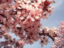 Cherry Blossoms 03 by Sakura222-stock