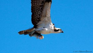 Osprey with fish by Aries18o18