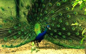 Peacock by Nachmarcy