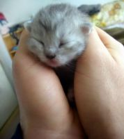 NewBornKitten by purrlesque