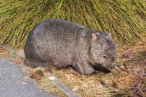 Wombat by slayer20