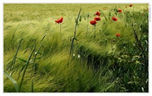 poppies by Kamil8702