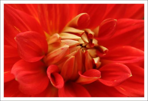 Red Petals by CharlottePhotography