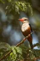 Grey-headed Kingfisher by DaSchu