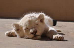 Sleepy white lion cub - stock by kridah-stock