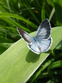 Female Holly Blue Butterfly on Campus 2 by SrTw