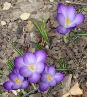 Lovely Purple Crocus by StormyNight79