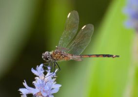 Dragonfly 1 by Carise
