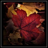Red maple leaf by Skycode