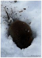 small wood mouse in the snow. looking for food. by Claudia008