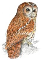 Strix aluco - tawny owl by Psamophis