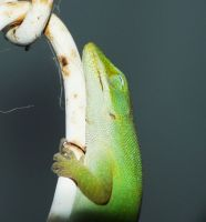 ....Sleeping Anole.., by duggiehoo