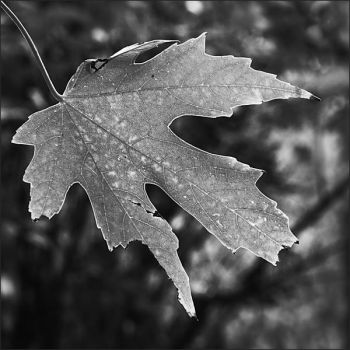 One leaf - Oct 2009 by pearwood