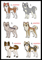 Akita point adoptable 01 by LolaTheSaluki