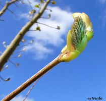 The First Bud Of Spring by Estruda
