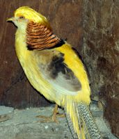 Yellow Golden Pheasant by s-i-nthetic-dreams