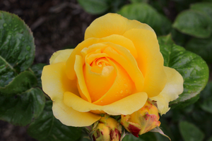 Not So Mellow Yellow Rose by Caloxort