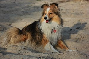 sheltie Flamme by Aannabelle