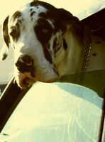 Great Dane by marianshmarian