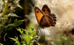Small Heath by Tinap