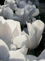 White Flowers by Sunlandictwin