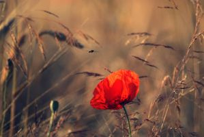 poppies again by nbd12