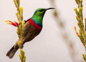 Southern Double-collared Sunbird by PhilippeduPreez