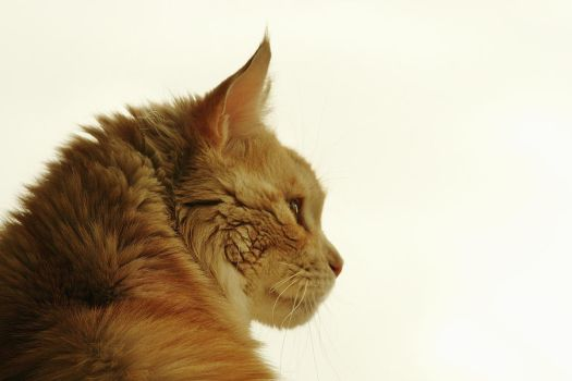 A Wistful Maine Coon by the-other1