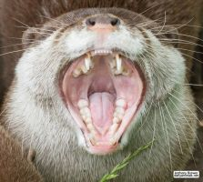 Into the mouth of otter by jaffa-tamarin