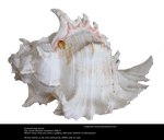 White Shell 2 By Cindysart-stock by CindysArt-Stock