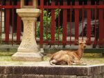 A Deer Relaxing in Miyajima by misspez