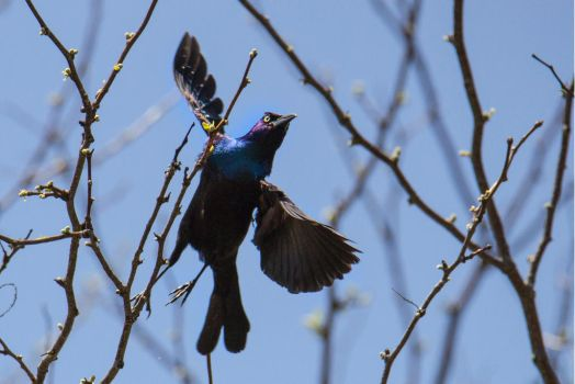 Common Grackle by ArcticPug