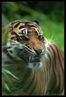 Tiger Teeth by lomoboy