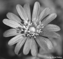 A little beauty in black + white by bluesgrass