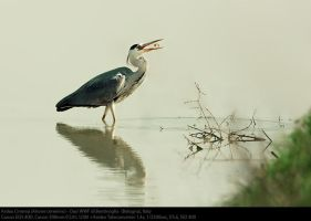 Ardea Cinerea by alcidepece