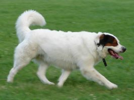 Dog in Motion by FantasyStock