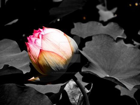 Lotus by ALeeTPhotograpy