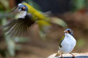 White-naped Honeyeaters by wolftraz