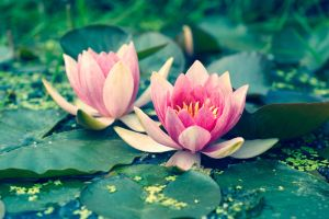 Water Lillies by o-kaykay
