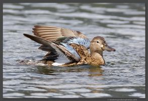 Female Cinnamon Teal 2 by kootenayphotos